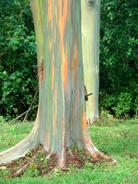 Rainbow Eucalyptus tree along the Hana Highway on the island of Maui.