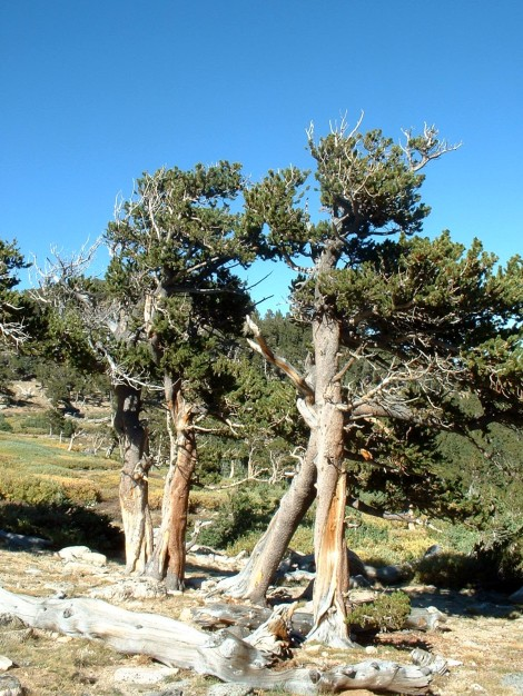 Bristlecone pines on the Mt Evans Scenic highway in the Colorado Rockies.