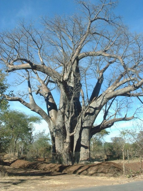 Baobob Tree by Victoria Falls in Zimbabwe.