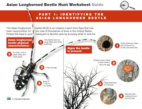 Asian Longhorned Beetle.02