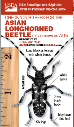 how to get rid of asian longhorned beetles
