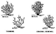 Pruning Shrubs.01