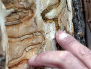 A tree expert points out the markings left from emerald ash borer larvae on an ash tree. The invasive pest has killed tens of millions of ash trees in the United States and Canada.
